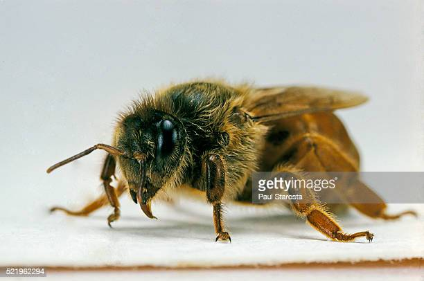 apis mellifera (honey bee) - queen - queen bee stock pictures, royalty-free photos & images