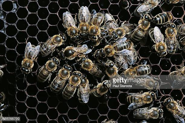 Apis mellifera (honey bee) - queen surrounded by attendants laying an egg in a cell