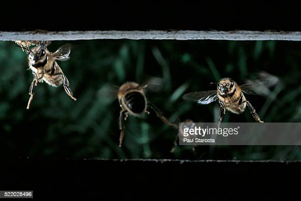 Apis mellifera (honey bee) - returning to the hive
