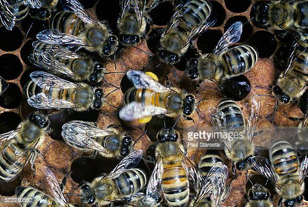 Apis mellifera (honey bee) - waggle dance