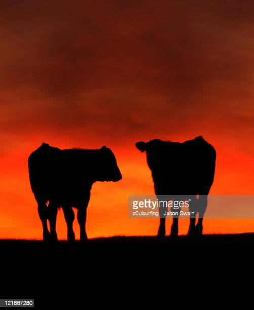 apocalypse cow - s0ulsurfing stock pictures, royalty-free photos & images
