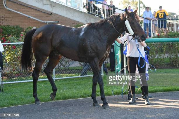 Apocalypto after winning Mother's Day Luncheon @ Trackside BM58 Handicap at Kilmore Racecourse on April 13 2017 in Kilmore Australia