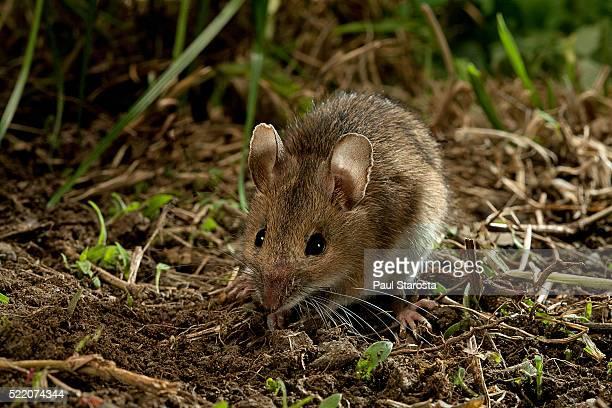 apodemus sylvaticus (wood mouse) - 齧歯類 ストックフォトと画像