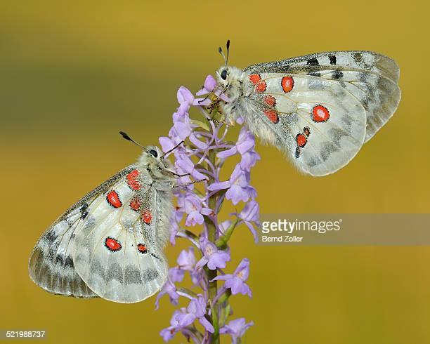 Apollo Butterflies -Parnassius apollo-, two butterflies feeding on a Short-spurred Fragrant Orchid -Gymnadenia odoratissima-, Swabian Alb biosphere reserve, Baden-Wurttemberg, Germany