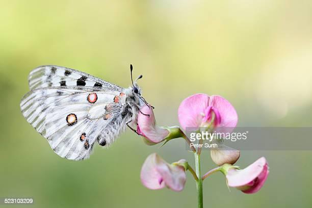 Apollo Butterfly -Parnassius apollo-, Tyrolean Oberland, Tyrol, Austria
