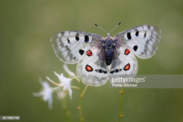 Apollo or Mountain Apollo -Parnassius apollo- butterfly sitting on a grass lily, Germany