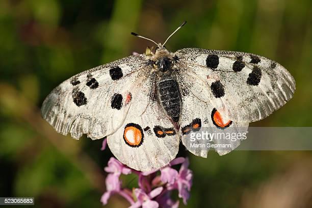 Apollo -Parnassius apollo- butterfly, Kleinziegenfelder Valley, Franconian Switzerland, Bavaria, Germany, Europe