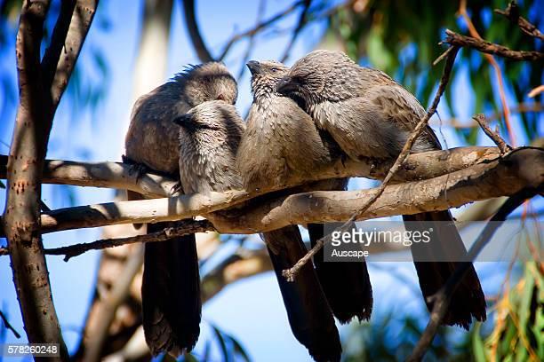 Apostle birds Struthidea cinerea often travel in small groups of around a dozen hence the name Lake Nuga Nuga National Park Central Queensland...