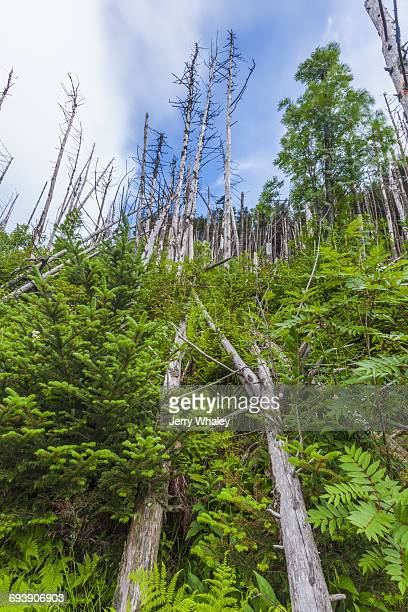 appalachian trail; clingman's dome; dead trees - clingman's dome stock photos and pictures