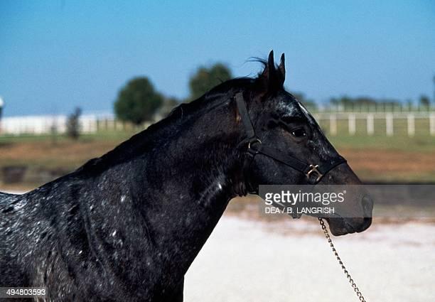 Appaloosa horse Equidae