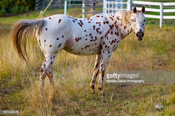 30 Top Appaloosa Horse Pictures, Photos and Images - Getty