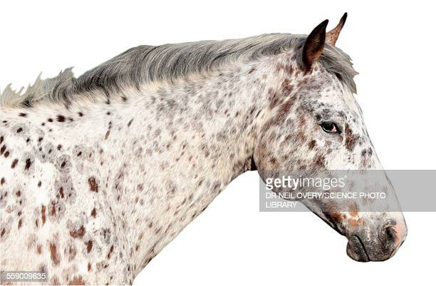appaloosa horse - appaloosa stock pictures, royalty-free photos & images
