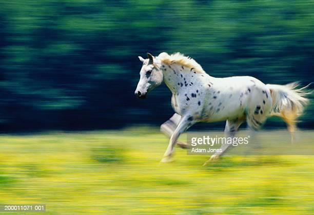 Appaloosa horse (Equus callabus) running in field (blurred motion)