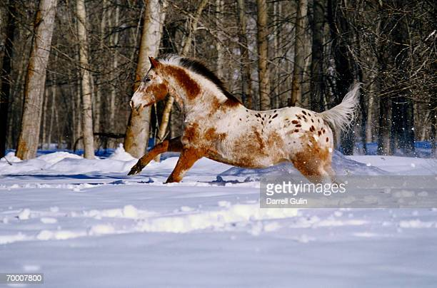 Appaloosa horse running in snow