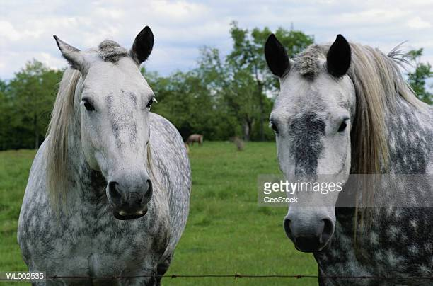 appaloosa horses - appaloosa stock pictures, royalty-free photos & images