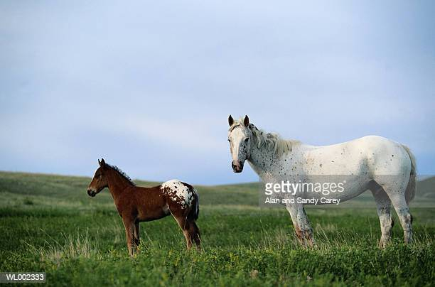appaloosa mare and colt standing in pasture - appaloosa stock pictures, royalty-free photos & images