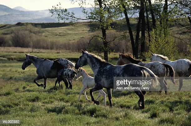Appaloosa mares and young running