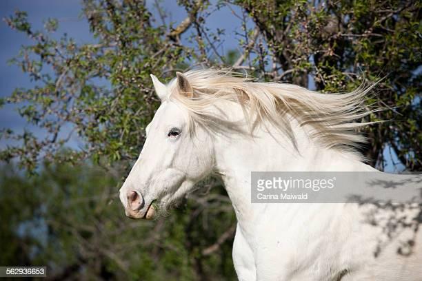Appaloosa mix, grey horse, gelding, behind almond trees, Majorca, Balearic Islands, Spain