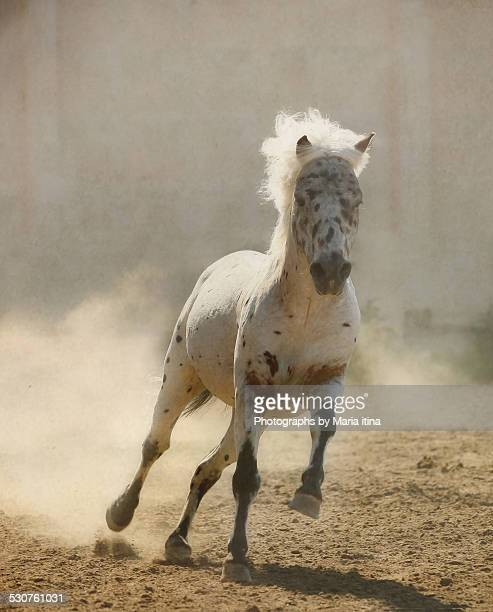 appaloosa pony stallion