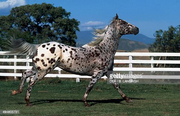 Appaloosa Sweet Sir Vallant horse Equidae