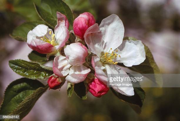 Apple Blossom 20th century 'Cherry Pink and Apple Blossom White' The apple tree is a deciduous tree in the rose family best known for its sweet fruit...