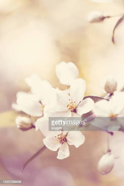 apple blossom branch in springtime - apple blossom stock pictures, royalty-free photos & images