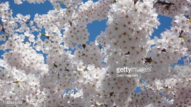 apple blossom flowers against blue sky - apple blossom stock pictures, royalty-free photos & images