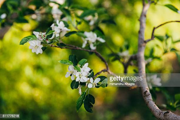 Apple Blossom in Himachal