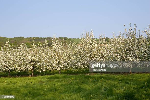 Apple blossom in orchard The Cotswolds England United Kingdom