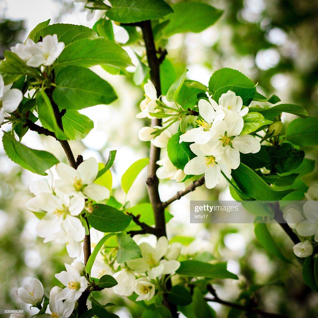 Apple blossom macro : Stock Photo
