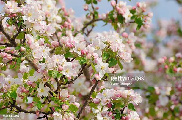 Apple blossom -Malus sp.-, Bavaria, Germany