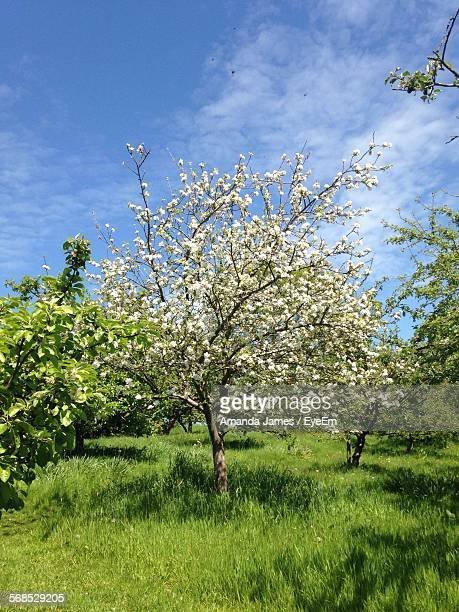 Apple Blossom On Field Against Sky