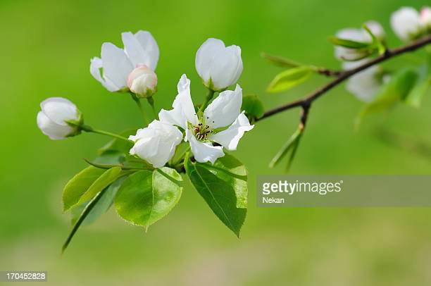 apple blossom on green
