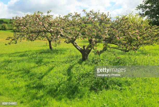 Apple blossom on trees in small garden orchard in Spring, Cherhill, Wiltshire, England, UK.