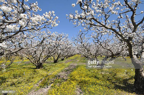 Apple Blossom Orchard On Mont Ventoux