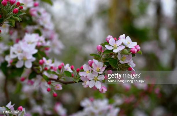 apple blossom - apple blossom stock pictures, royalty-free photos & images