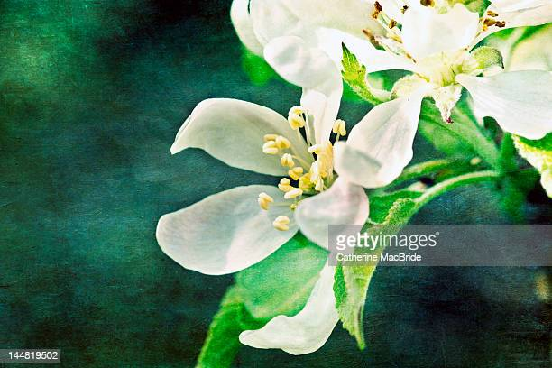 apple blossom - catherine macbride stock pictures, royalty-free photos & images