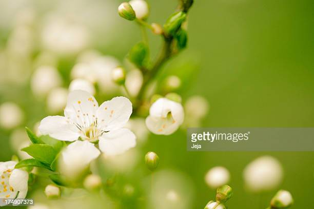apple blossom - bud stock pictures, royalty-free photos & images