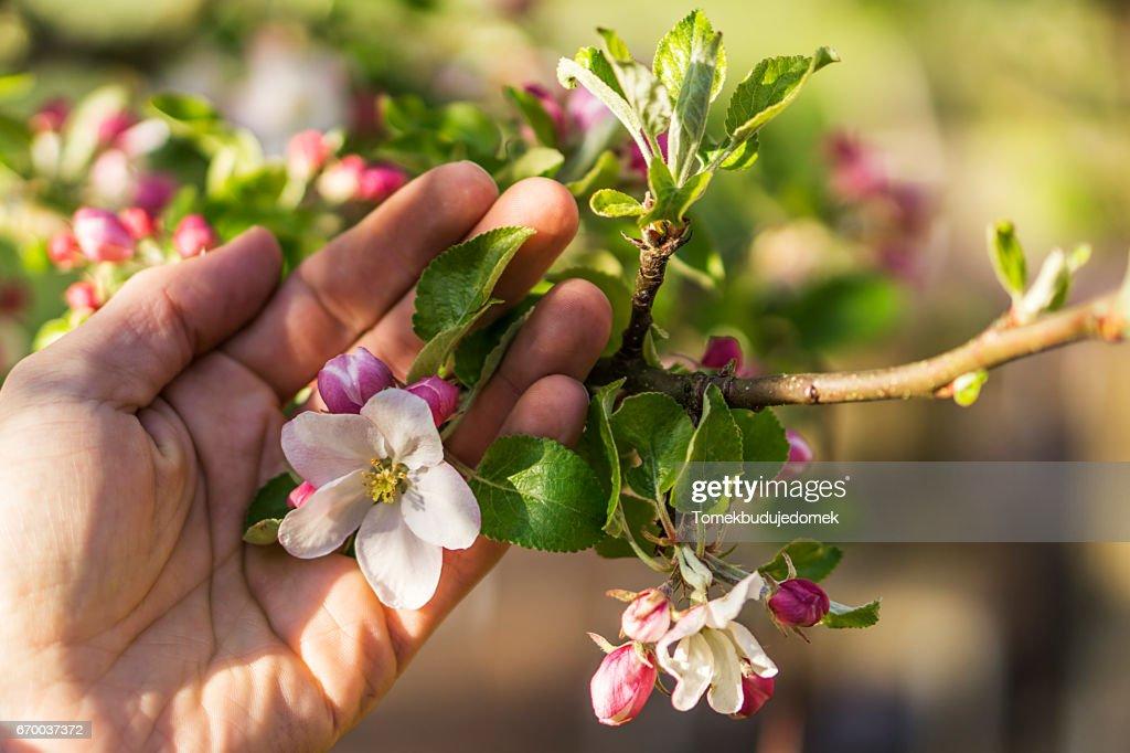 Apple blossom : Stock Photo