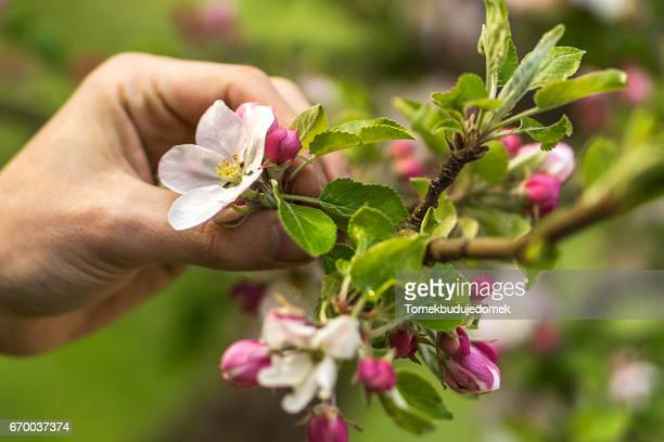 apple blossom - variable schärfentiefe stock pictures, royalty-free photos & images