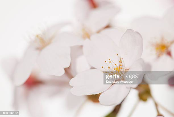 Apple Blossom Series