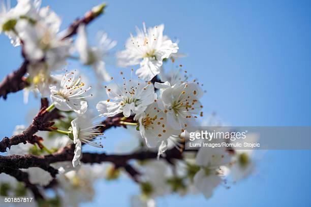 Apple blossoms against blue sky, close-up
