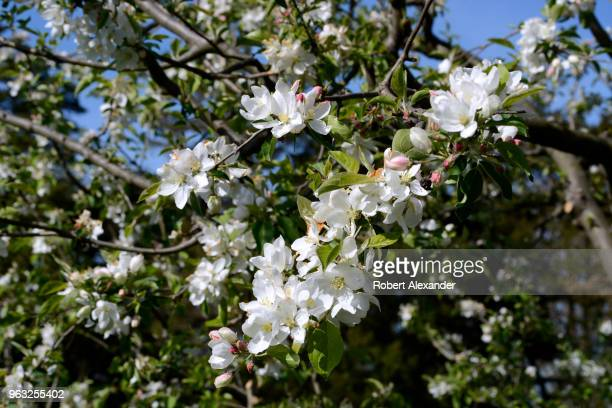 Apple blossoms bloom on a fruit tree at Mount Vernon the plantation owned by George Washington the first President of the United States in Fairfax...