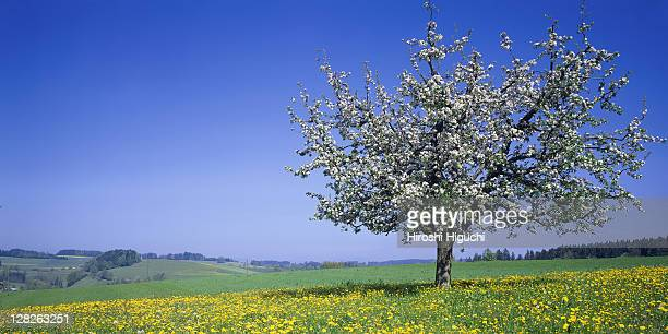 apple blossoms, canton lucerne, switzerland - apple blossom tree stock pictures, royalty-free photos & images