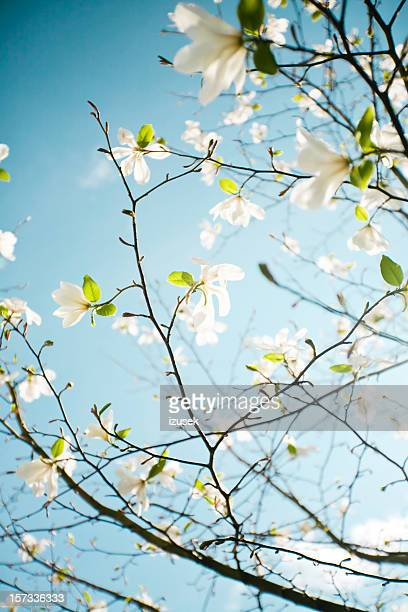 apple blossoms in hordaland county - bloesem stockfoto's en -beelden