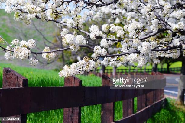 apple blossoms in spring - concord california stock pictures, royalty-free photos & images