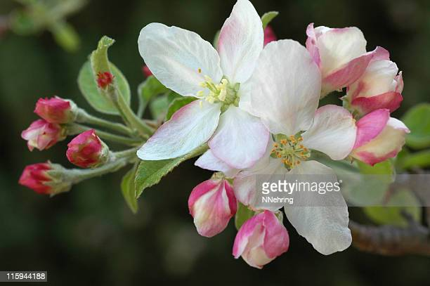 apple blossoms, Malus domestica