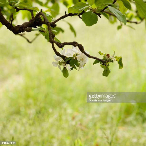 Apple Blossoms on Tree Branch, Close-Up
