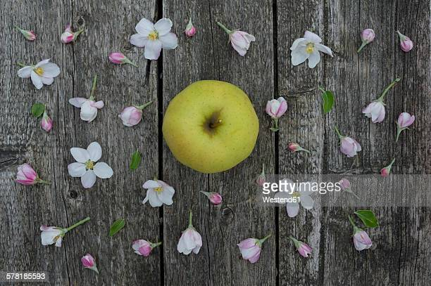 Apple blossoms on weathered wood, Golden Delicious apple