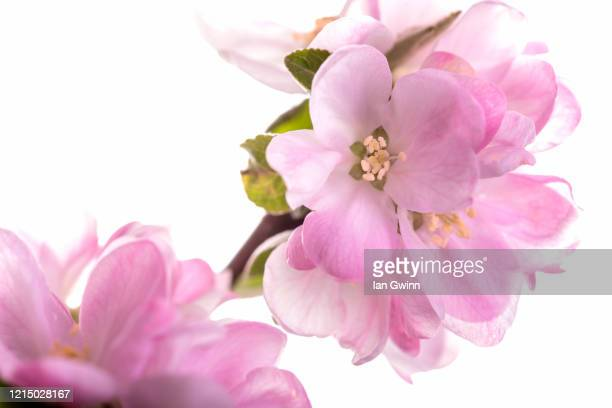 apple blossoms - ian gwinn stock pictures, royalty-free photos & images
